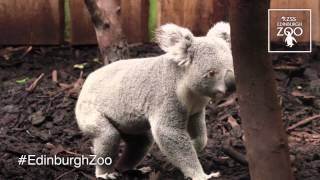 Koala Territory at RZSS Edinburgh Zoo