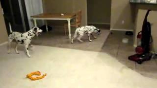 Dalmatian Sliding On Tile