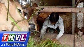 THVL | Phóng sự: Bài toán chăn nuôi bò thịt nông hộ