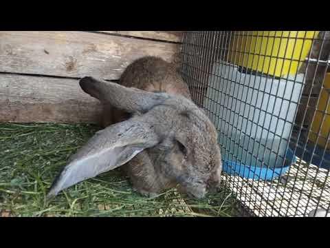 Кролик заболел//неизлечимая болезнь//энцефалозооноз у кролика// нарушение координации//паралич