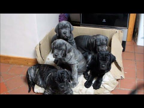 Neapolitan Mastiff Puppies playing Tug