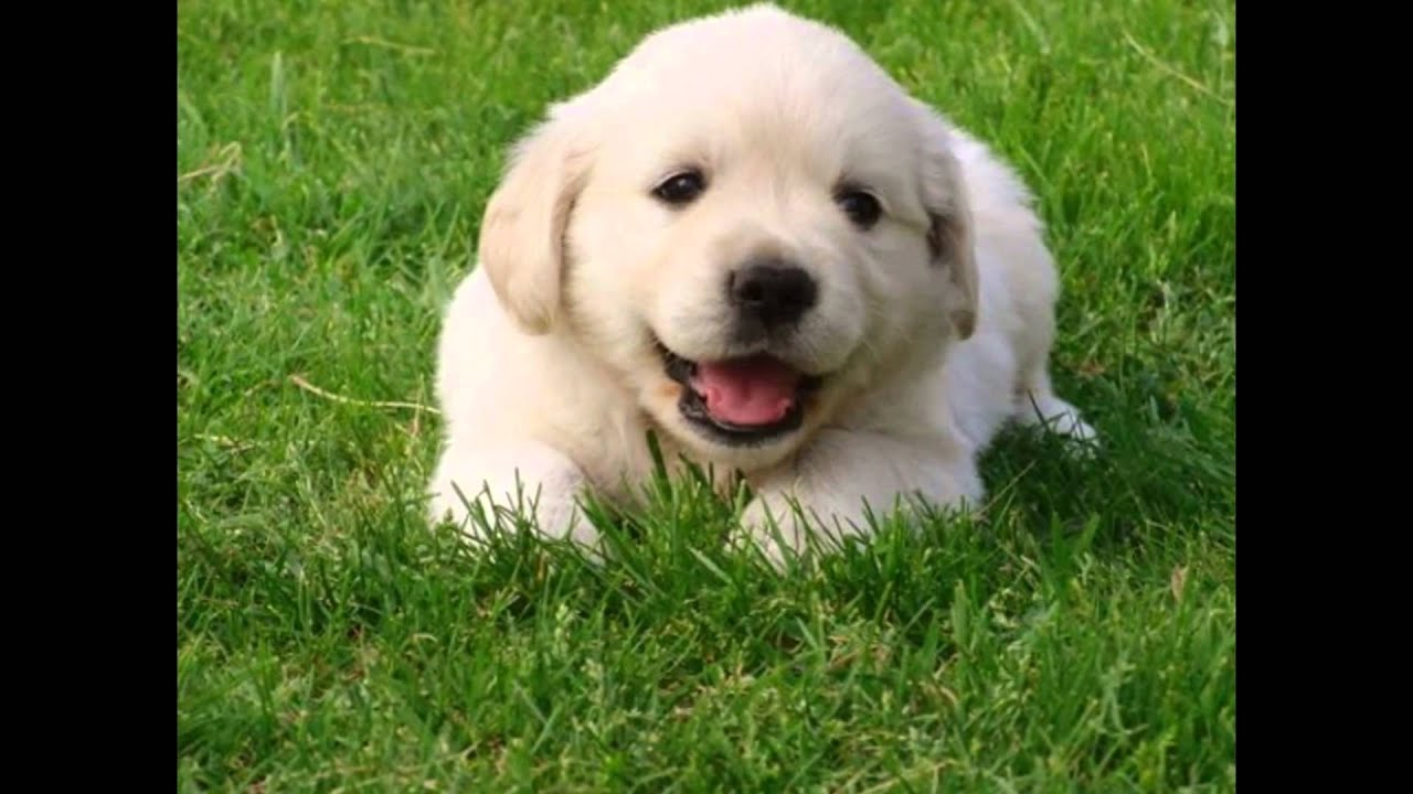Cachorro Golden Retriever Youtube