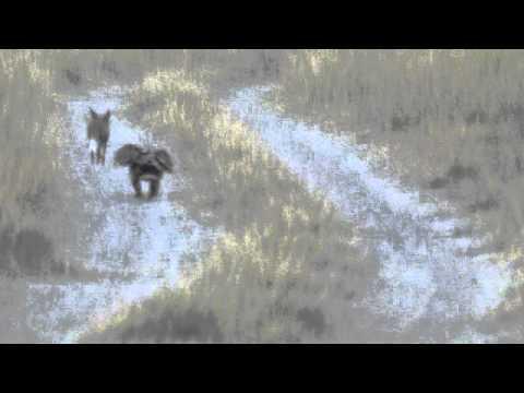 Desert fox vs Imperial Eagle