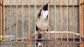 Download Burung Merbah Jambul Pemikat Suara Lantang Lebih Bervariasi