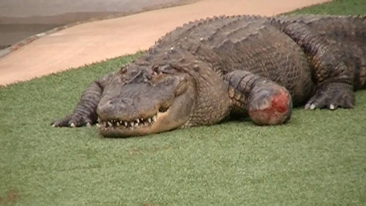 Reptile Garden Alligators Rapid City South Dakota Youtube