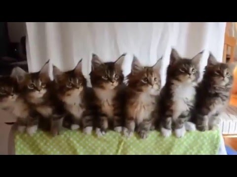 latest funniest cats group dance ever 2016 …… you never seen before