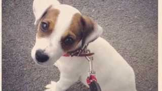 Lani her 1st year of life of our Jack Russell Terrier puppy