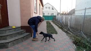 Дрессировка щенка - Типичное занятие (Команды, длительность, похвала и т.д.) - Дрессировка дратхаара