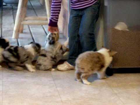 Toy Australian Shepherd puppies for sale born 4/23/2014