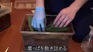 ゴホンヅノカブト 産卵セット
