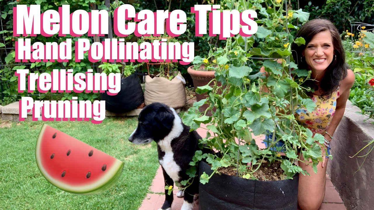 Watermelon Cantaloupe Care Tips Hand Pollinating Trellising Pruning Youtube Why should you grow cantaloupes vertically. watermelon cantaloupe care tips hand pollinating trellising pruning