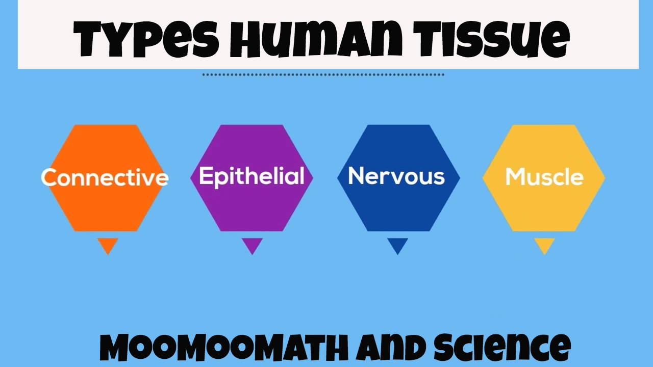 Types of Human Body Tissue - YouTube