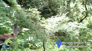 Rare deer captured by infrared cameras