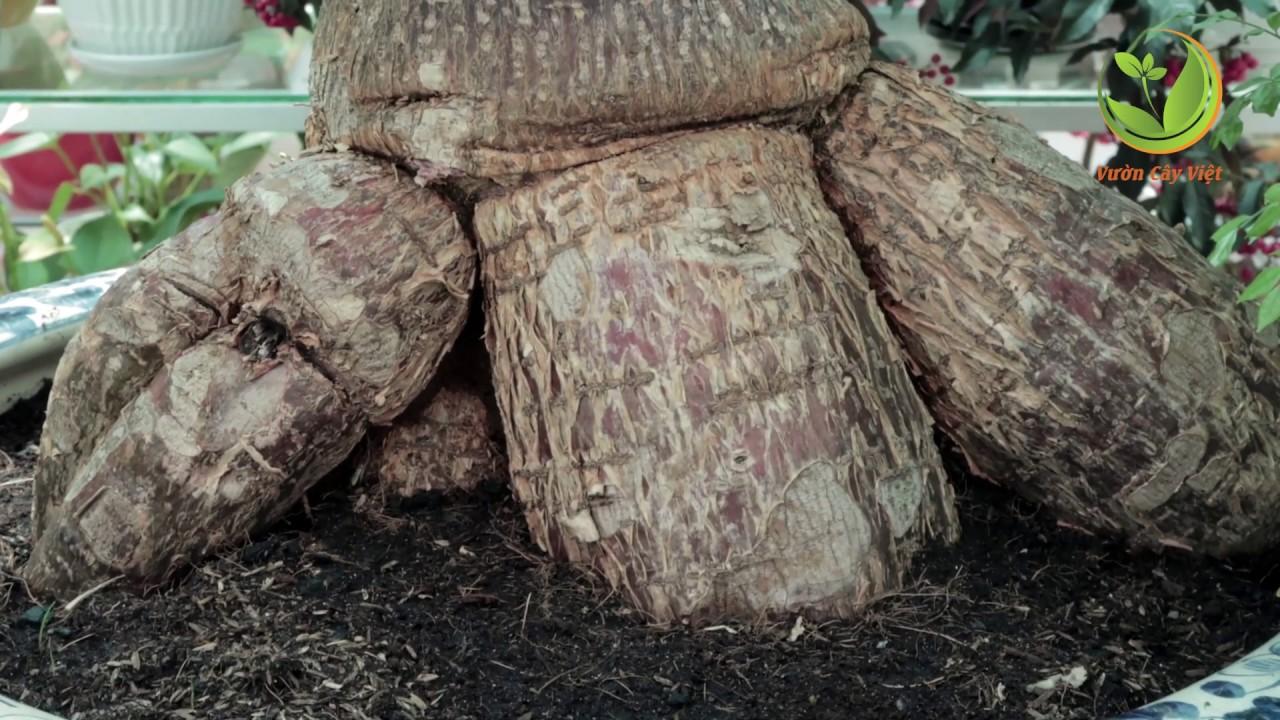 Giới thiệu 4 loại Cây Bonsai Dáng Độc – Đẹp – Dễ Chăm Sóc || Cây Cảnh Chơi Tết 2019 || #Bonsai