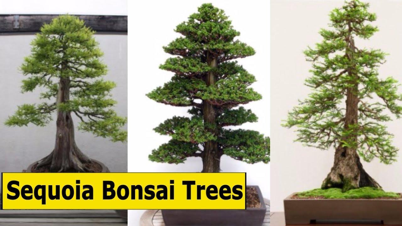 Great Giant Sequoia Bonsai Trees Bonsai Trees Care Beginners Youtube