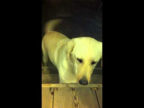 Labrador Retriever Samsooni she is quite smart dog.