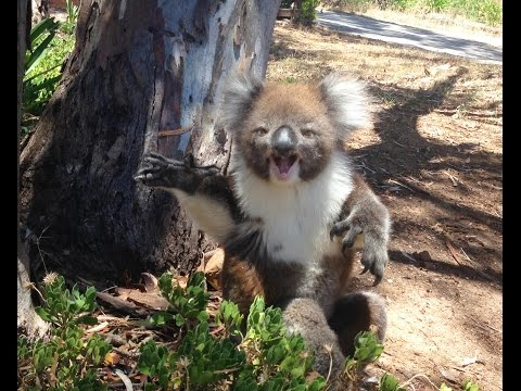 Thumbnail: Koala Gets Kicked Out Of Tree and Cries!