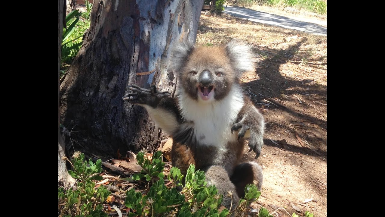 Tiny Koala Cries After Getting Kicked Out Of Tree By Grumpy