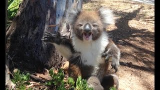 Repeat youtube video Koala Gets Kicked Out Of Tree and Cries!