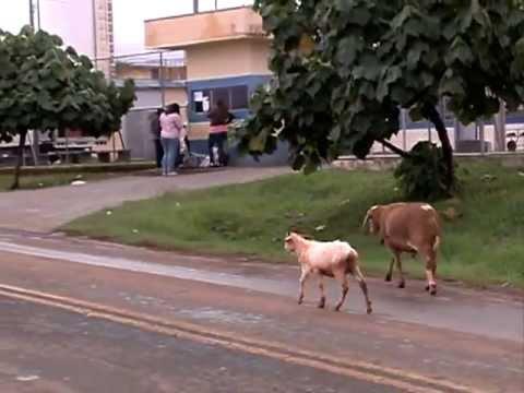 Коза бодается