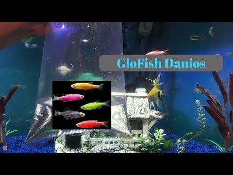 GLOFISH DANIOS!!