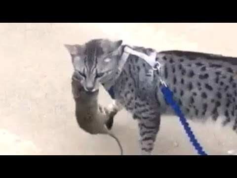 Egyptian Mau Cat Catches Big Mouse