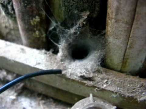 Funnel Web Spider attack