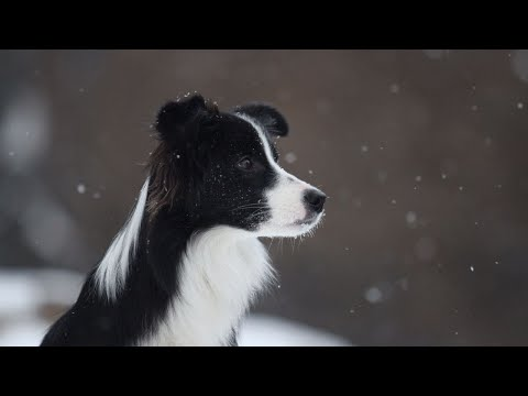 Border Collie Funny Viral Videos Compilation! Cutest Border Collie Dogs Ever! | (24)