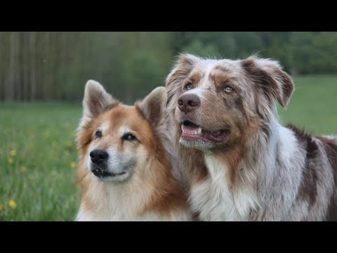 Dogs in Summer 2018 | Australian Shepherd & Icelandic Sheepdog