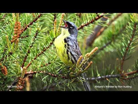 Kirtland's Warbler Song