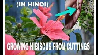 151# Growing Hibiscus cuttings in rainy season in hindi.