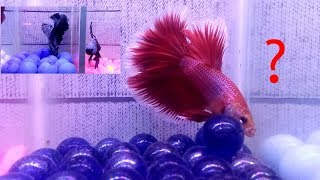 Beautiful betta fish for sale with small tank | katabon aquarium fish market | bengal beauty