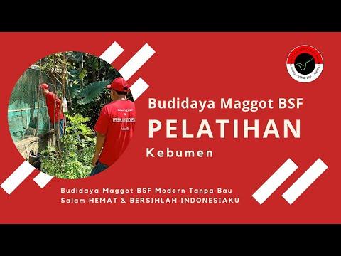 Cara Mengubah 1kg Bibit Maggot Menjadi 100kg Dlm 1 Bulan - Budidaya Maggot BSF Tanpa Bau