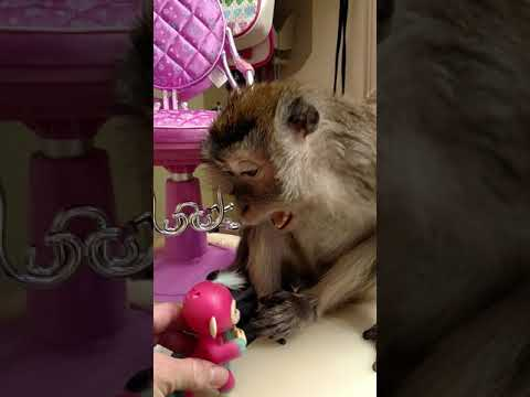 Real Monkey has Love/Hate Relationship With Fingerling Monkey