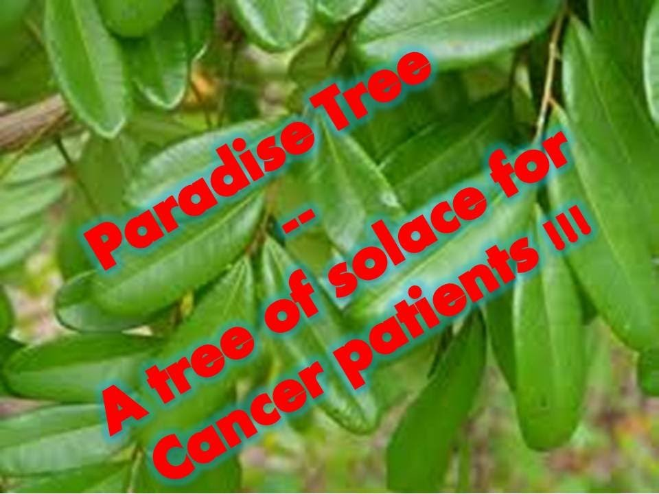 Paradise Tree A Tree Of Solace For Cancer Patients Youtube