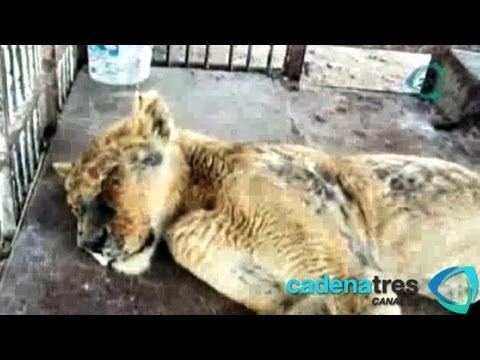 Liberan y sanan a la leona 'Morelia' luego de sufrir duros maltratos en circo