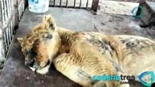 Liberan y sanan a la leona