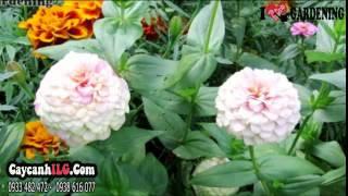 Cây Hoa Cúc Di Nha Đẹp