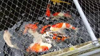 錦鯉給餌 2019.8.16