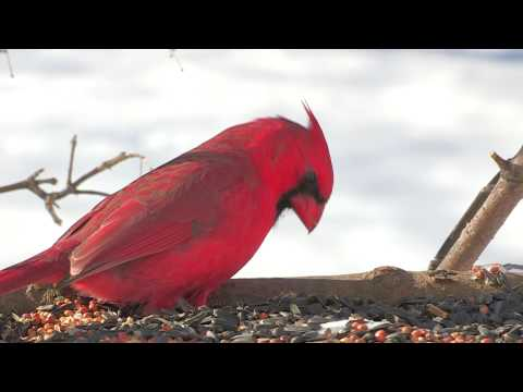 Northern Cardinal Male Female Bird Watching identification close up