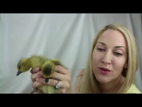 Unboxing: My Pet Toulouse Goslings Arrive From Metzer Farms!!!