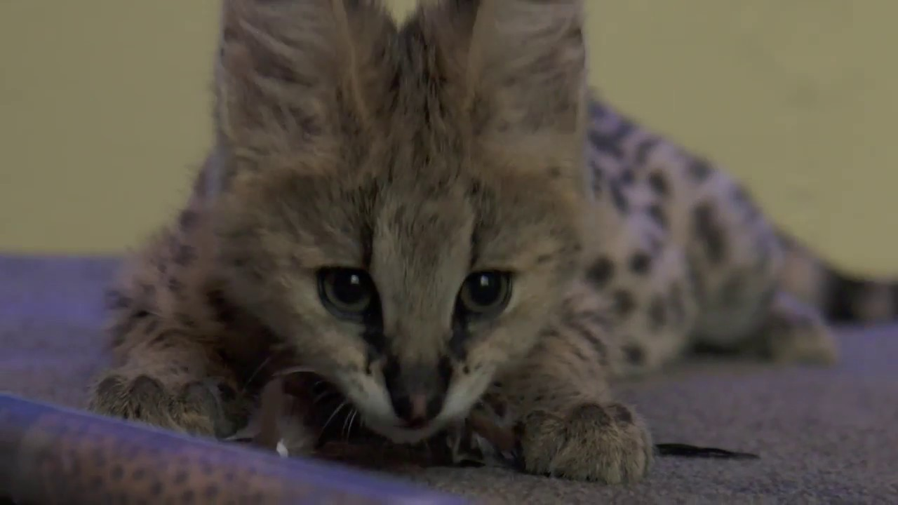 African Serval - 72 Cutest Animals - National Zoo ...