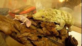 New Caledonian Giant Gecko(Rhacodactylus leachianus) 3 month, meal ...