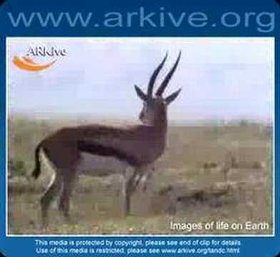 Thomson's Gazelle - Fauna Clips