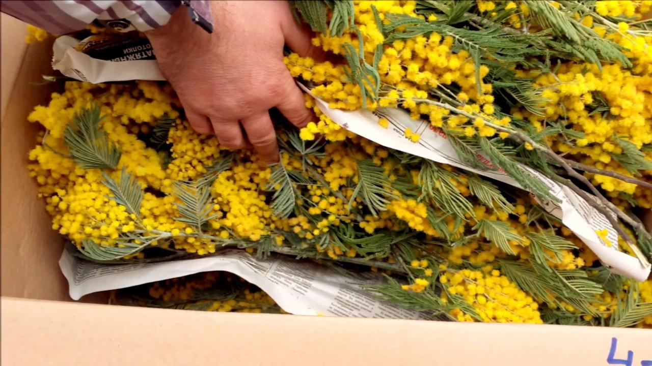 Сургуте букет, живые цветы мимоза купить оптом