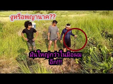 แทบช็อค ดงงู (นาคี) !! ดงปลาไหลยักษ์ ตลึงมันมาจากไหนเพียบ !!??