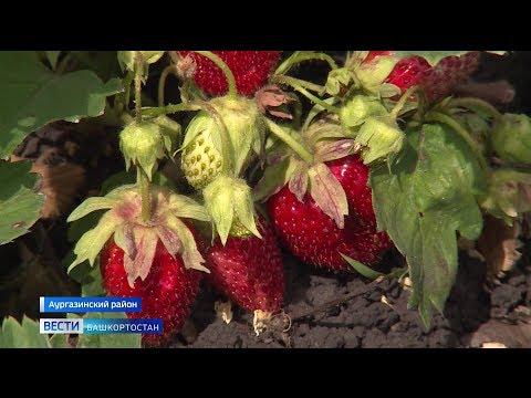 Местная ягода вытесняет привозную: в питомниках республики начался сезон клубники