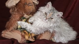 Селкирк Рекс, Уход и содержание, Породы кошек