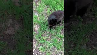 Просто черный кот, который ходит и мяукает