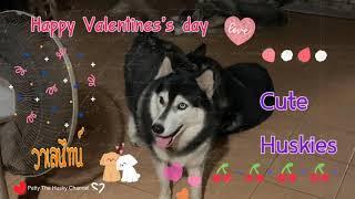 Happy valentines 💕🌹 สุขสันต์วันวาเลนไทน์นะคะ ไซบีเรียนแฮปปี้น่ารัก #pattythehusky
